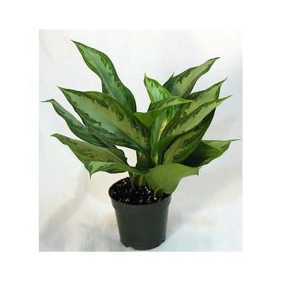 Aglaonema 'Silver Queen' 2